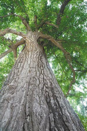 邳州1500年古银杏树枯木回春 挂果两三万
