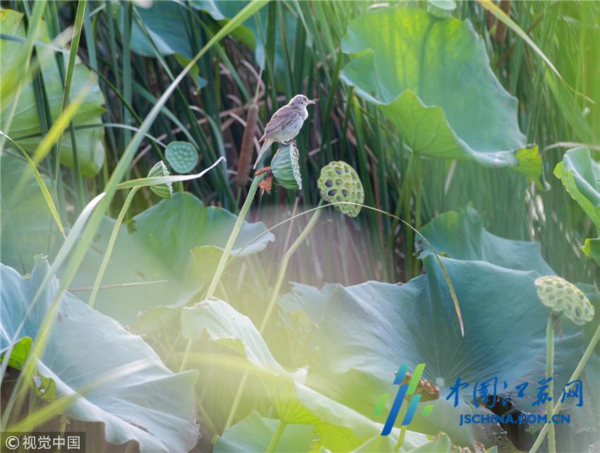 2018年7月24日,游客在江苏南通海安市七星湖生态园观赏荷花.