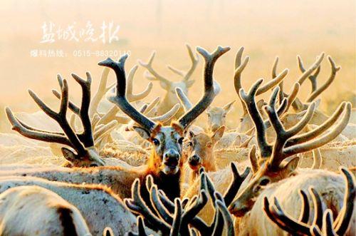 大丰麋鹿国家级自然保护区拥有世界最大
