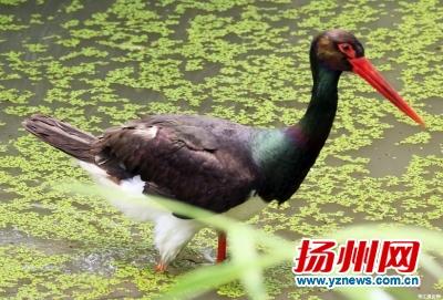 国家一级保护动物黑鹳 驾临 扬州鸟家族第217个成员